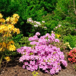 Азалия японская садовая: посадка и уход