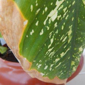 Почему желтеют листья у Диффенбахии и что делать