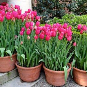 Можно ли сажать тюльпаны дома в горшок