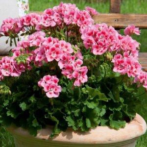 Выращивание пеларгонии из семян секреты для начинающих