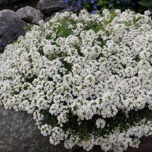 Посадка алиссума на рассаду и в открытый грунт: уход и выращивание