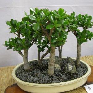 Как обрезать и обновить денежное дерево в домашних условиях? Советы цветоводам и пошаговая инструкция процедуры