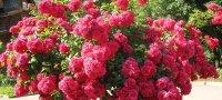 Роза плетистая посадка и уход в открытом грунте сорта