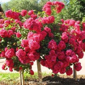 Вьющиеся розы цветущие все лето