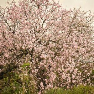 Миндальное дерево посадка и уход