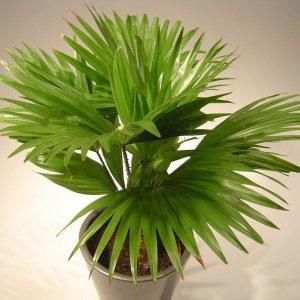 Виды пальм веерная ливистона круглолистная ротундифолия китайская