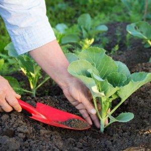 Как правильно выращивать капусту в открытом грунте