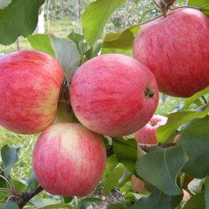 Когда и как правильно посадить яблоню весной? Пошаговое руководство от А до Я