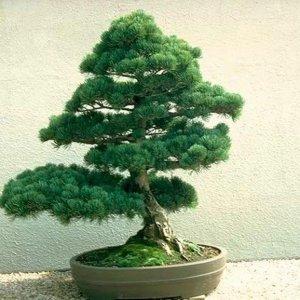 Какие деревья можно держать дома