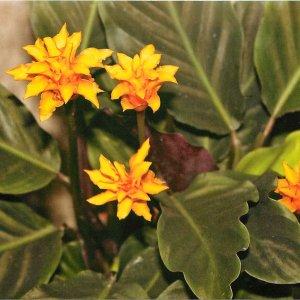 Калатея желтеют листья что делать