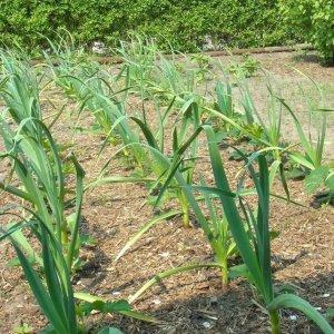 Выращивание чеснока из семян бульбочек