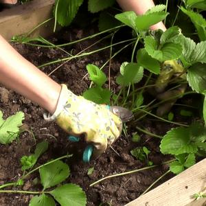 Агроном: Правила обработки клубники осенью в 2019 году