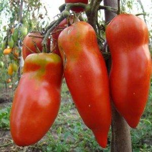 Сорта помидор не боящиеся фитофторы