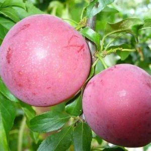 Сорта крупноплодной алычи