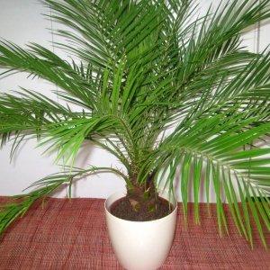 Домашний цветок похожий на пальму — Все цветы