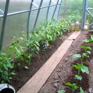 Посадка томатов и перцев в одной теплице