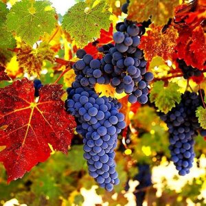 Виноград красного цвета столовые сорта крупный розовый