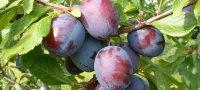Лучшие сорта сливы для сибири: посадка и уход