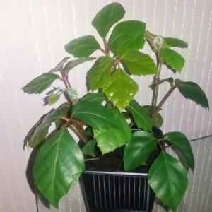 Комнатный цветок березка: выращивание и уход в домашних условиях