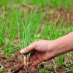 Подготовка лука севка к посадке весной когда и как правильно подготовить