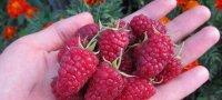 Как правильно выращивать ежевику и ухаживать за ней?