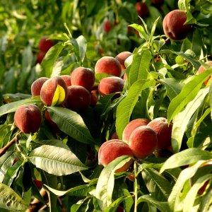 Как правильно сажать персиковое дерево весной и как ухаживать за ним первый сезон