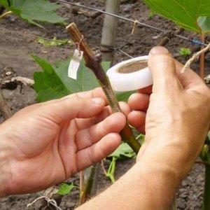 Прививка нового сорта винограда на старый куст