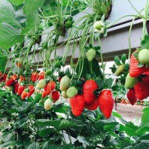 Выращиваем клубнику по голландской технологии