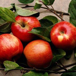Популярные зимние сорта яблонь