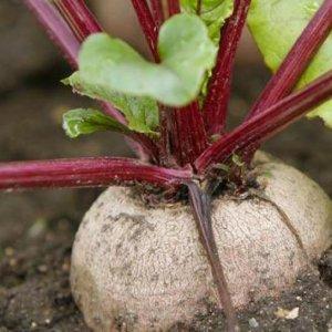 Как сажать свеклу – семенами в грунт и рассадой   Видео