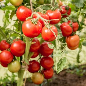 Замачивание семян помидоров перед посадкой на рассаду: нужно ли замачивать, как правильно и на сколько замочить томаты перед посевом