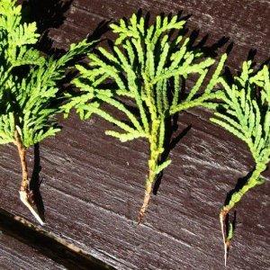 Как правильно размножить тую? Быстрый и легкий способ размножить дерево. Как рассадить тую в домашних условиях? Правильное размножение ветками весной