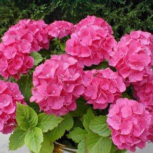 Почему не растет гортензия и не все цветы распускаются что делать если не цветет