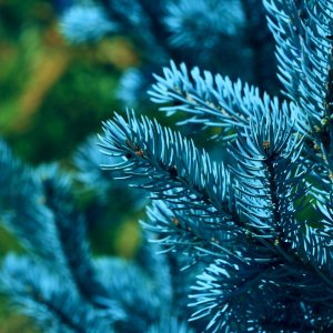 Когда сажать елку осенью или весной. Какую ель выбрать для посадки на даче