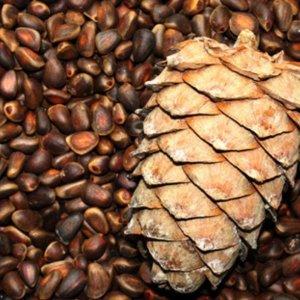 Как прорастить кедровый орех в домашних условиях