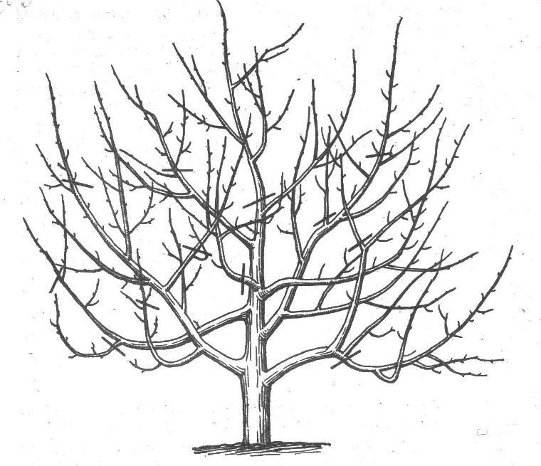 Формирование кроны молодой яблони схема как правильно сформировать
