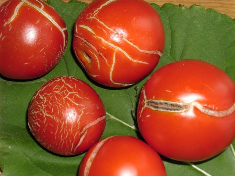 Правила полива помидор после посадки