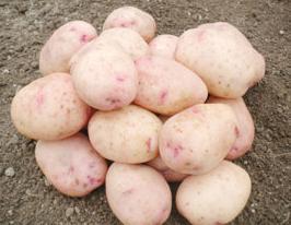 Какой хороший сорт картофеля?