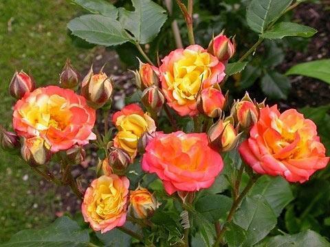 Можно ли выращивать розы в домашних условиях?