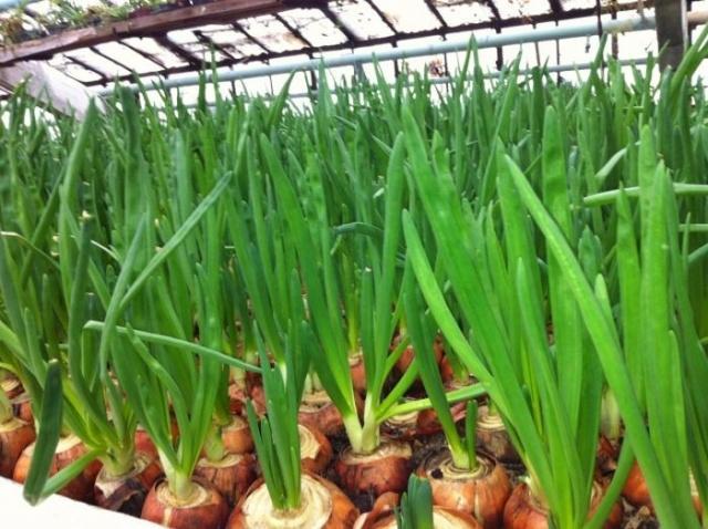 Зеленый лук в теплице круглый год