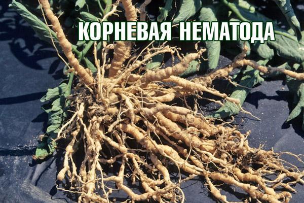 Поражение корня помидорного куста нематодой