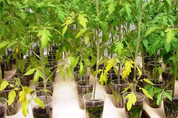 Желтеют листья помидорной рассады