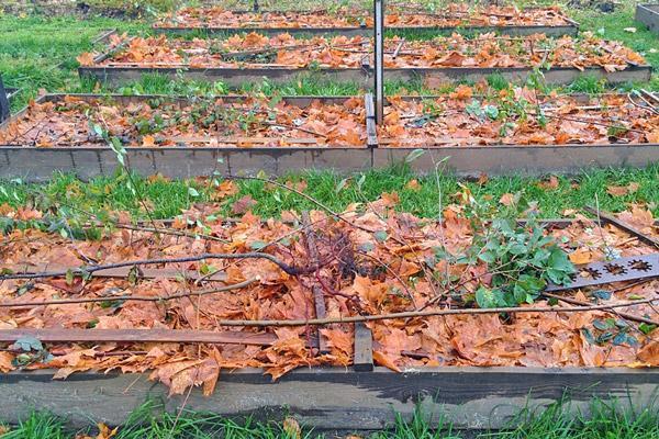 Листья для защиты от зимних морозов