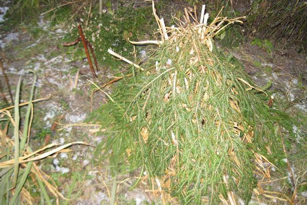 Укрытие растений лапником