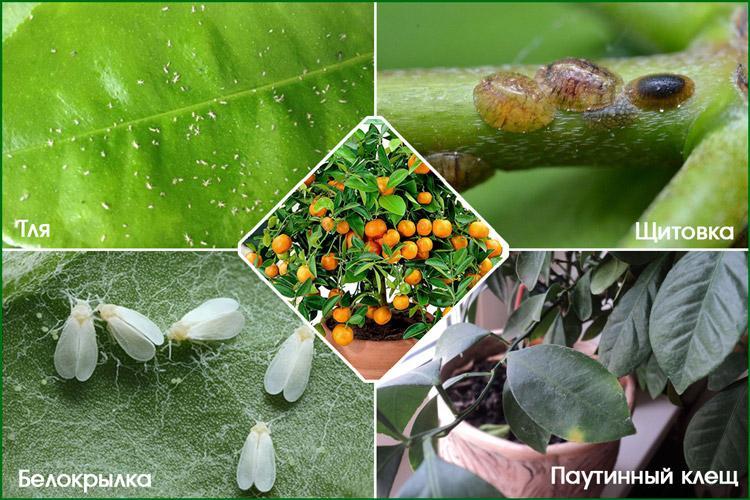Вредные насекомые опасны цитрофортунелле
