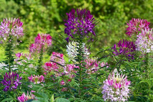 Цветы Клеомы