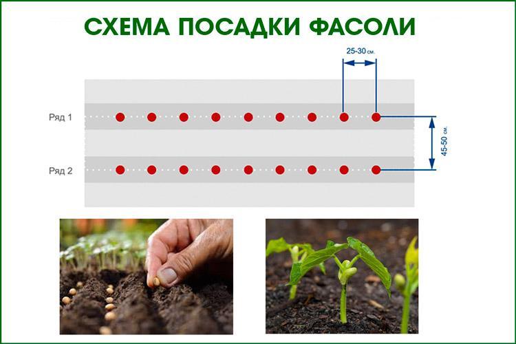 Схема высадки фасоли