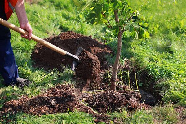 Высадка фруктовых деревьев