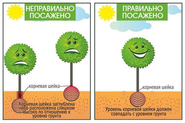 Как сажать фруктовое дерево
