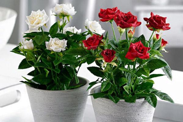 Розы Кордана белого и красного цветов